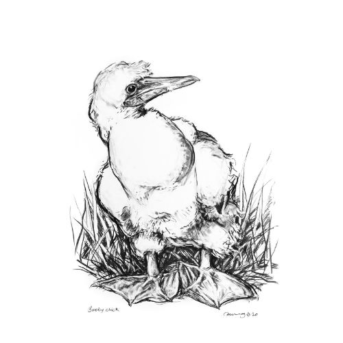 Masked booby chick Lord Howe Island Margaret Murray Art
