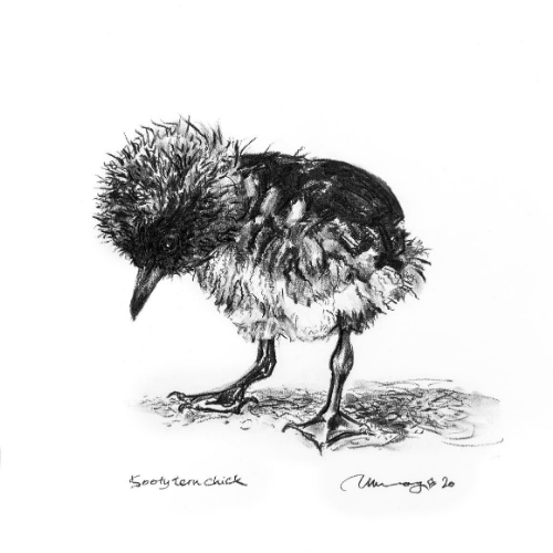 #3 chick Lord Howe Island Margaret Murray