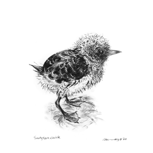 #2 chick Lord Howe Island Margaret Murray