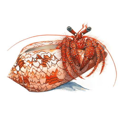 Hermit Crab Lord Howe Island Margaret Murray Art